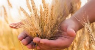 Unlocking Wheat Production with High-Yielding Seed Variety Trials